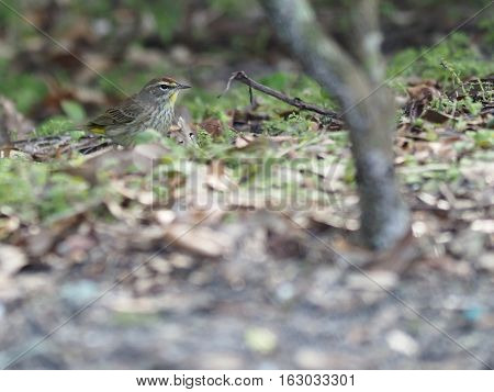 Profile view of a Palm Warbler on the ground
