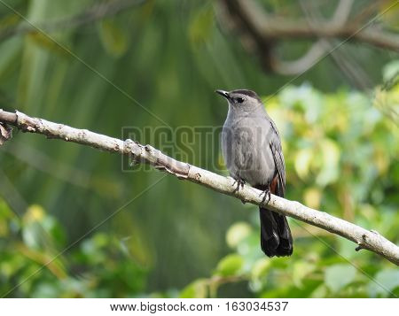 Gray Catbird on tree branch with head slightly tilded at an angle