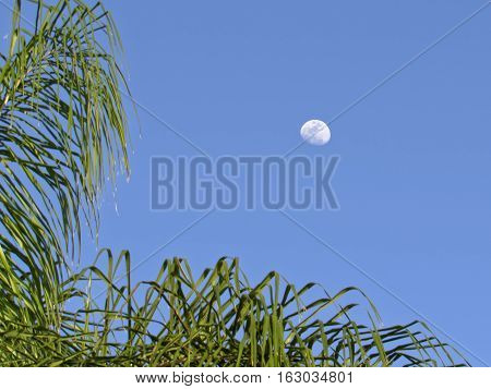 Daytime moon against clear blue sky framed by palm fronds in tropical Florida