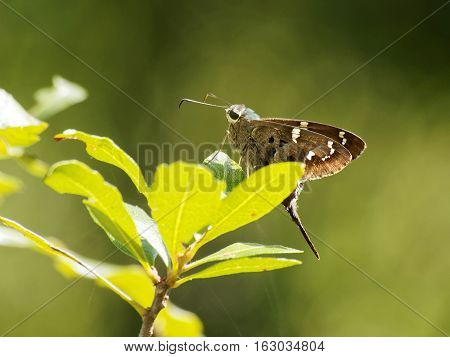Long tailed Skipper butterfly posing on plant