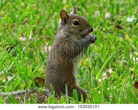 Profile view of Eastern Gray Squirrel standing upright snacking in green grass