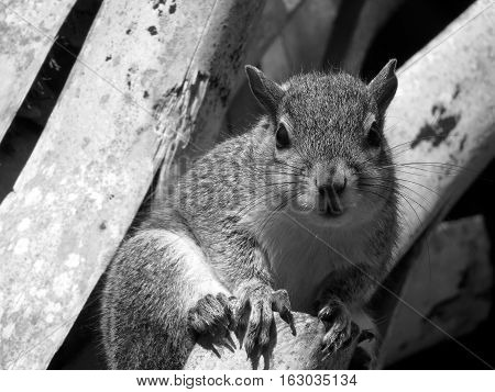 Cute Eastern Gray Squirrel staring from ledge on Sabal Palm Tree