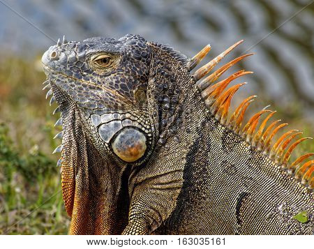 Extreme close up of male Green Iguana with orange breeding colors neck dewlap and spine spikes