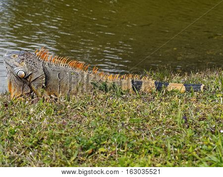 Male Green Iguana with orange breeding colors and partially amuptated tail contemplating a lake from grass