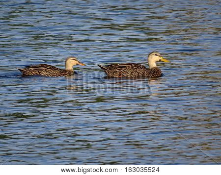 Pair of Mottled Ducks in a Florida lake
