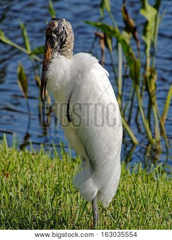 Woodstork standing in green grass by lake preening its neck feathers