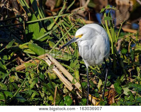 Snowy Egret appearing to be lost in thought