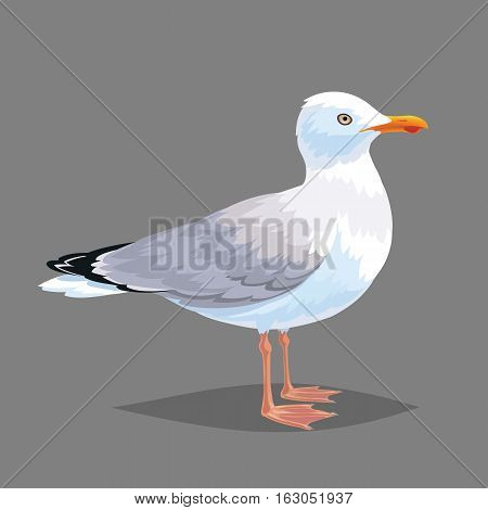 Realistic bird Seagull isolated on a white background. Vector illustration of realistic bird European Herring Gull for your journal article or encyclopedia.