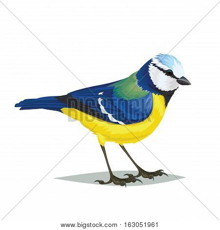 Realistic bird Eurasian blue tit isolated on a white background. Vector illustration of realistic small passerine bird Eurasian blue tit for your journal article or encyclopedia.