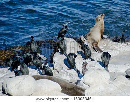 California Sea Lion In The Company Of Brandt Cormorants
