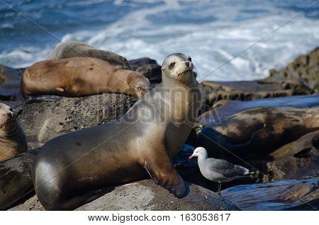 Curious California Sea Lions Near La Jolla Cove - 2