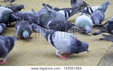 Pigeons have made contributions of considerable importance to humanity especially in times of war. In war the homing ability of pigeons has been put to use by making them messengers.