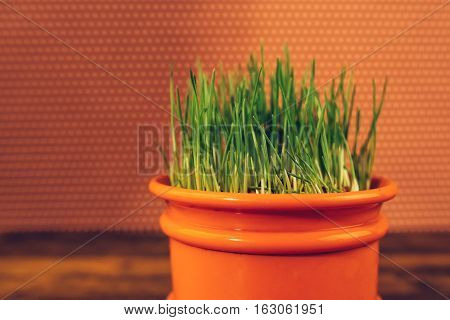 Fresh green wheat grass growing in plastic pot selective focus