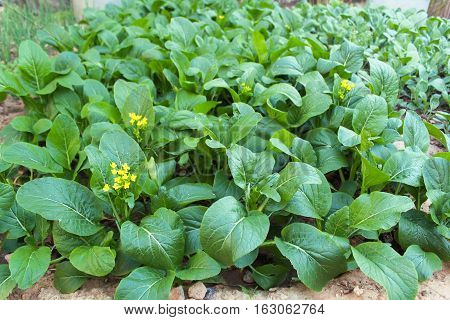 Canton or choy vegetable with yellow flower in the garden