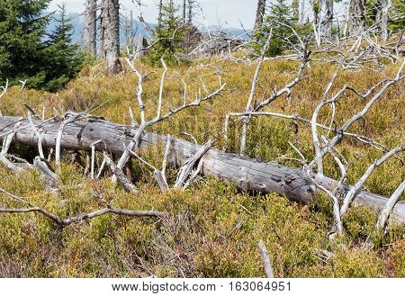 Dead tree in forest at Great Fatra mountain. Slovakia