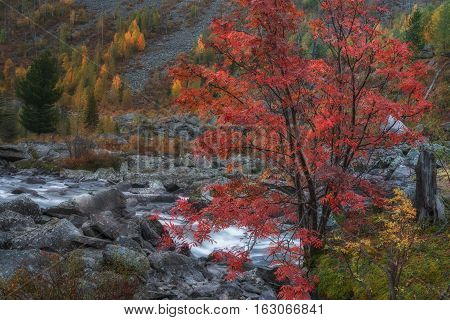 Mountain Stream Long Exposure Day View With Red Rowan Tree, Altai Mountains Highland Nature Autumn Landscape Photo. Beautiful Russian Wilderness Scenery Image.