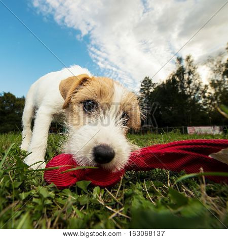 A close up portrait of a cute Terrier dog playing with a red scarf. Dec 2016