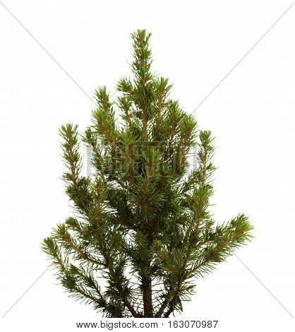 Small Spruce Isolated