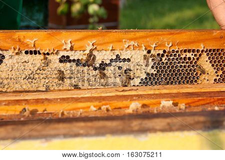 View Of The Working Bees On The Honeycomb With Sweet Honey.