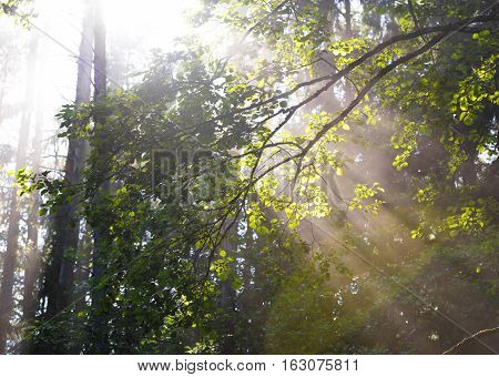 Sunrays Crossing  Misty Forest