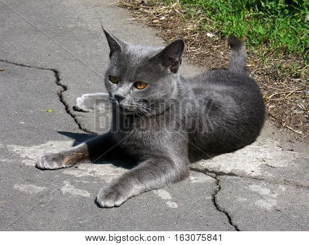 Gray Cat With Beautiful Eyes On The Ground