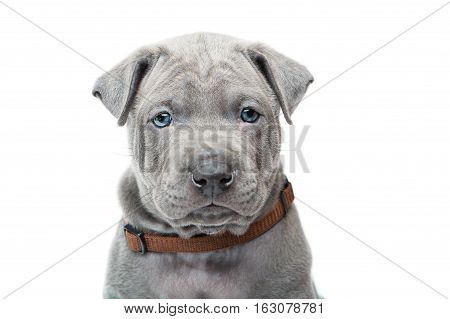One month old thai ridgeback puppy dog in brown collar sitting. Close-up portrait isolated on white. Copy space.