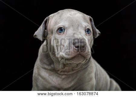One month old thai ridgeback puppy dog in brown collar sitting. Close-up portrait isolated on black. Copy space.
