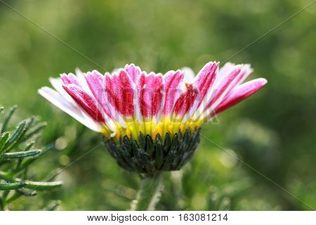 Small flower of Daisy (Bellis perennis) small flowers vary in color; white, pink and yellow