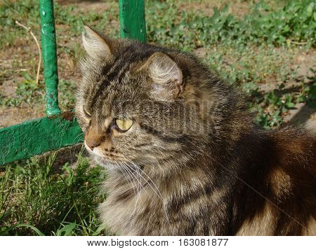Cute siberian cat outdoor in summer day
