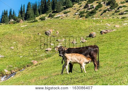 Cow And Calf In The Pasture.