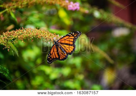 A close-up of a monarch butterfly photographed in a garden in North East Pennsylvania.