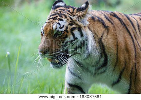 Closeup View Of A Siberian Tiger