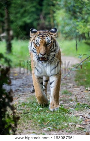 Amur Tiger Walking Along A Road In The Forest
