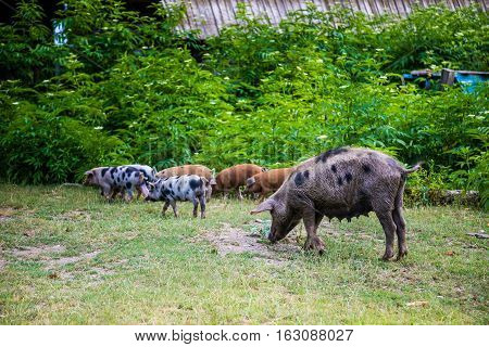 Pig with small piglets in the courtyard of the Russian village