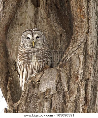 A barred owl roosts, camouflaged, in an oak tree cavity.