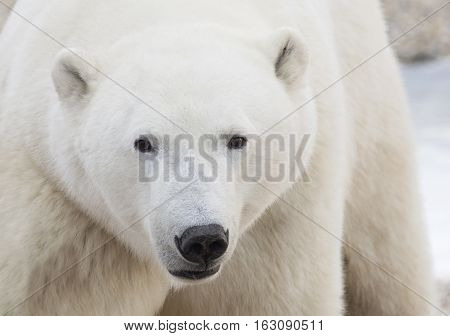 Close up image of a polar bear.  Churchill, Manitoba, Canada.