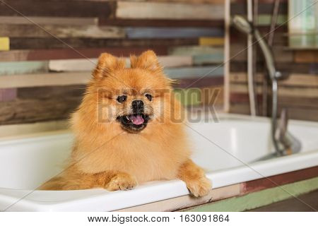 Well groomed dog pomeranian before showering in the bathroom.