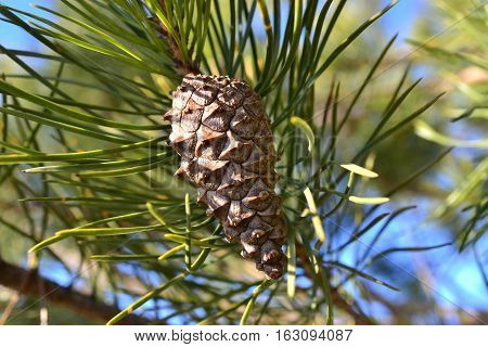 a cone is a pine with a pine-needle on a tree in the day-time under the rays of a sun