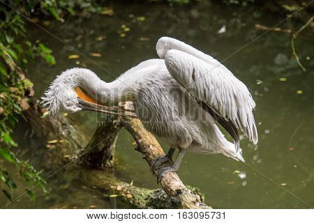 Dalmatian Pelican Perched On A Log Cleaning Its Feathers