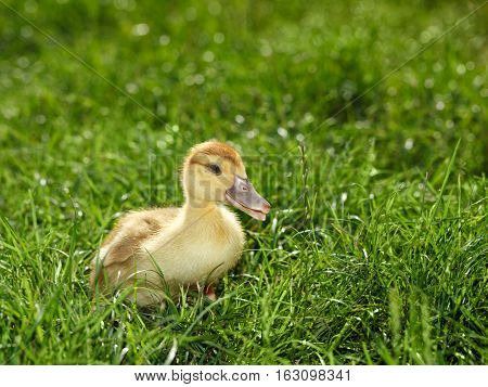 Side view of poult chick on green grass background at sunny summer day