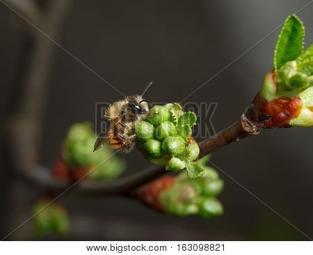 Cherry Unfold Flower Buds And Early Bee