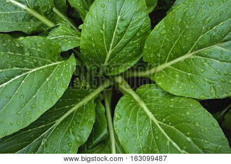 Fresh green lettuce cantonese in farm background