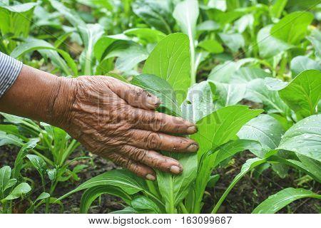 Old hand fresh green lettuce cantonese vegetable in farm