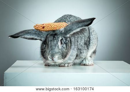 European rabbit or common rabbit, 2 months old, Oryctolagus cuniculus against gray background and corn