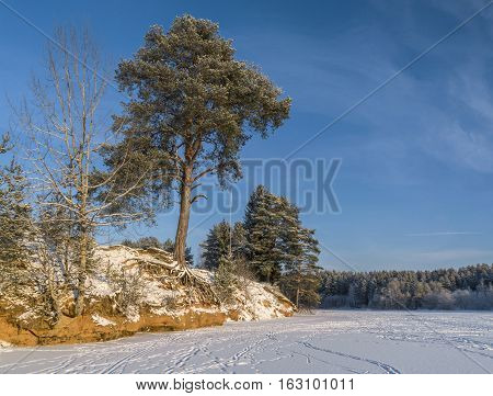 Pine tree with bare roots over frozen river in sunny cold winter day