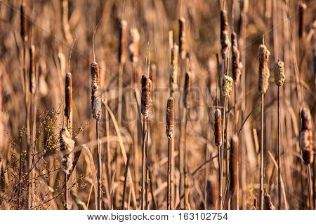 Cattails at a Marsh, Color Image, Day