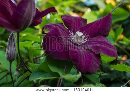 Violet clematis. Purple clematis flowers in the spring garden.