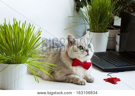 Big bright cat lying near with computer keyboard. Animal in the red bow tie. Concept of office