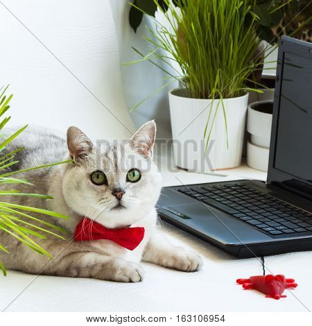 Intelligent cute cat near with the laptop. Animal in the red bow tie in the office with computer. Attentive look