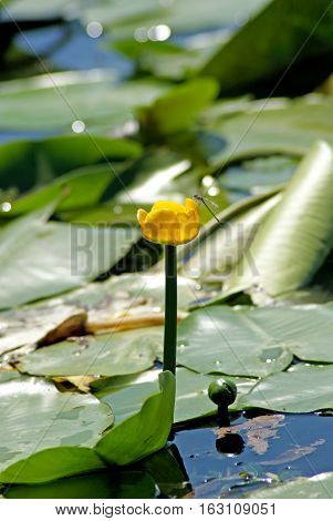 Nuphar lutea. Yellow water-lily. Flowering Water lily yellow on the river Dnieper.